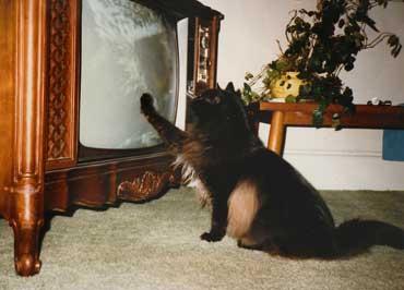 kittycat_maine_coon_2